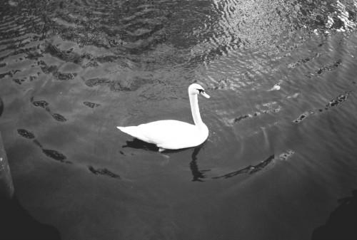 swan by Andreas Pasvantis