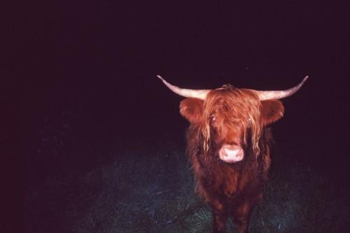 bull by Andreas Pasvantis